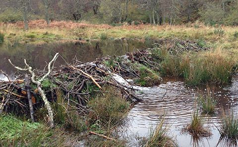 Image: Beaver dam in Scotland. Credit: R Needham