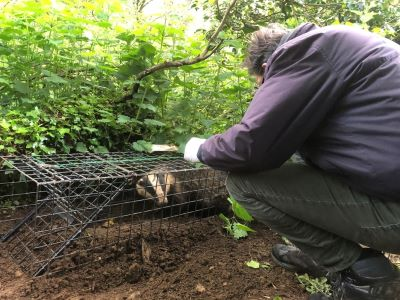 Chris Tufnell of Coach House Vets vaccinating a badger at a BBOWT reserve. Picture: Julia Lofthouse