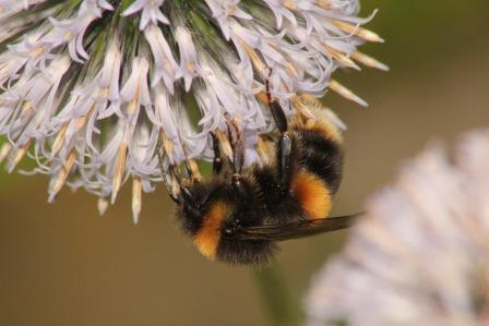 Bumblebee (Grahame Madge)