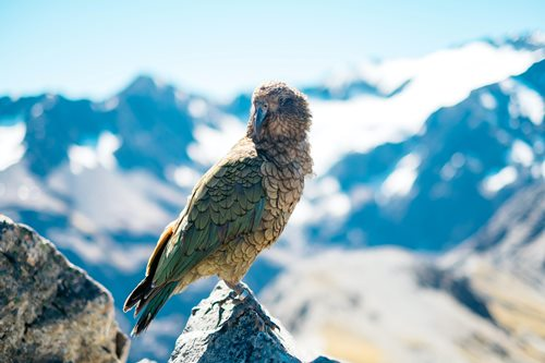 kia parrot sitting on the top of a rock with mountains behind