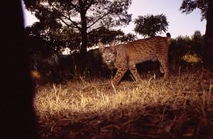 Sub-adult Iberian lynx (Lynx pardinus) captured by a camera-trap in Serra de Andujar (Spain). (Credis: Joaquim Pedro Ferreir)