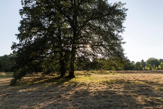 large field tree in dappled sunlight