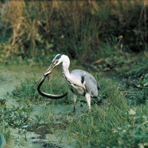 Grey heron credit Mike Richards