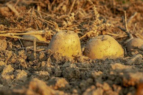 potato tubers on newly dug ground
