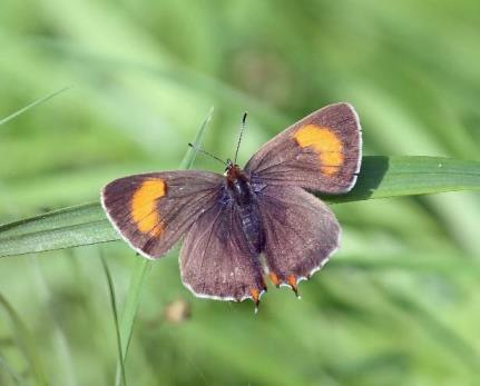 Brown Hairstreak butterfly (Butterfly Conservation)