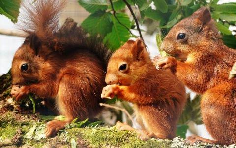 Red squirrels (Longleat Safari Park)