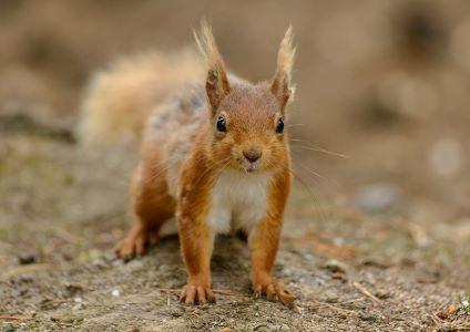 Red squirrel, image John Bridges