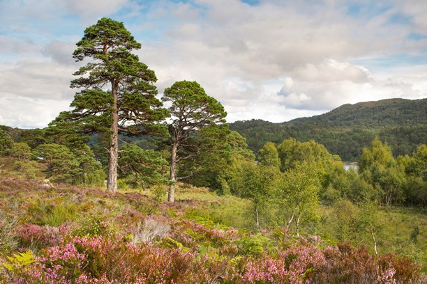 two scots pine trees on open countryside with flowering heather in the foreground