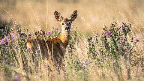 standing roe deer in long grass and flwoering thistles
