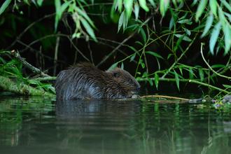 Beaver (c) Bevis Watts