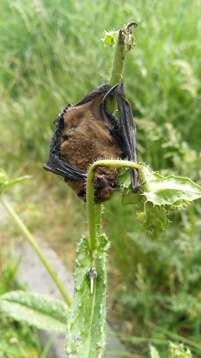 pipestrelle bat on green stems during the day (photo by Kim Bliss)