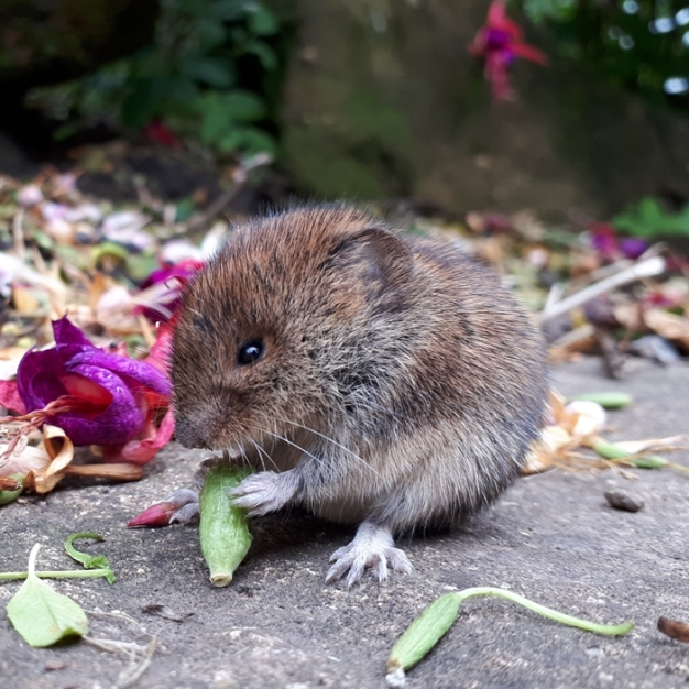 sitting up bank vole holding a flower bud. (image: Adrian Dangerfield)