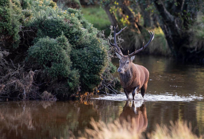 antlered red stag walking up a muddy highland burn (photo: Val Gall)