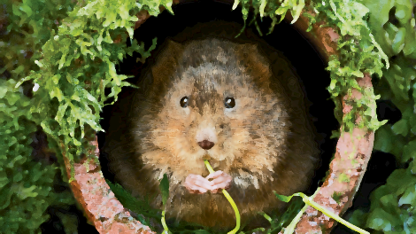 photo of a water vole looking out of a clay drainage pipe