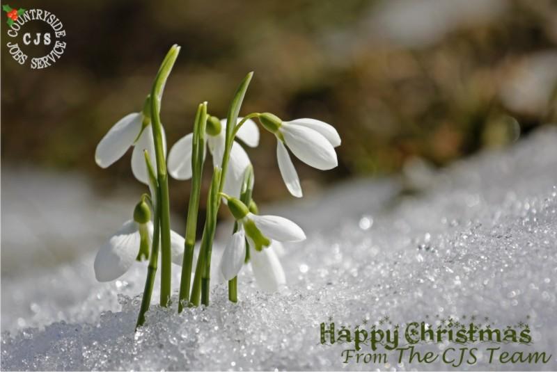 CJS Christmas card: flowering snowdrops in snow