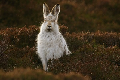 moutian hare in grey winter pelt sitting upright face onto the camera surrounded by dark heather