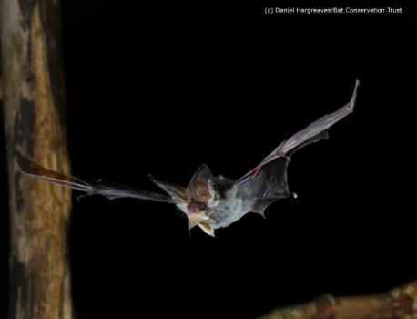 Brown long-eared bat with moth