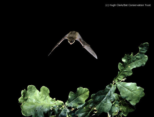 Common pipistrelles, one of the most common UK species,  can eat up to 3000 midges in one night