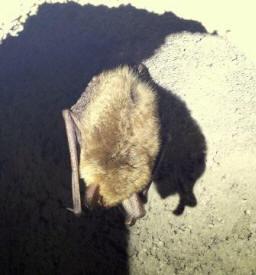 Natterer's bat hibernating at Highgate's tunnels. (c) Jess Barker/www.bats.org.uk