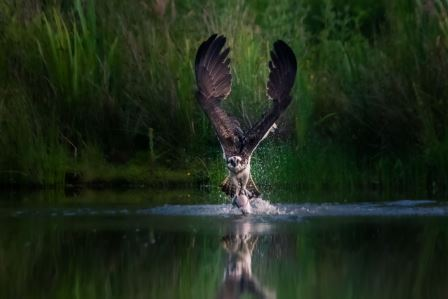 Winning photograph 2020: Osprey in the Cairngorms by Peter Stephens