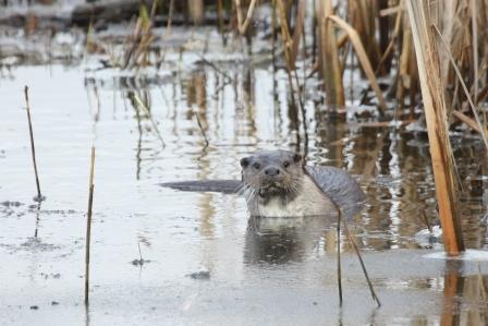 Otter (Broads Authority)