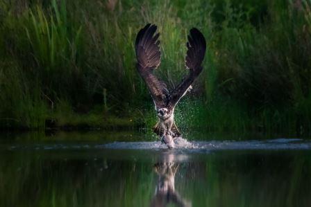 Winner - Osprey in the Cairngorms © Peter Stevens