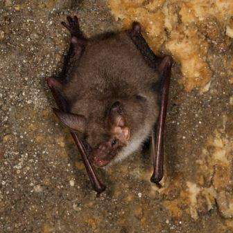 Greater mouse eared bat by Henry Schofield