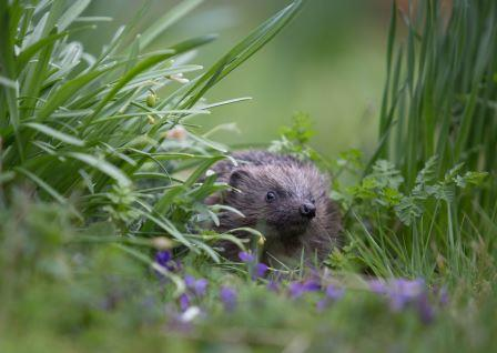 Hedgehog by Gaia Wilson - Highly Commended in our 2019 Mammal Photographer of the Year competition