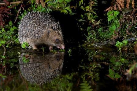 Hedgehog drinking by Richard Bowler