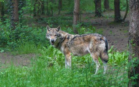 Student Blog - The Wolf in the Story