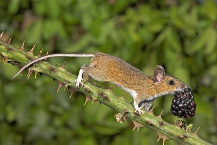 Wood mouse (Gary Cox)