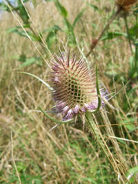 Wild teasel (Dipsacus fullonum)