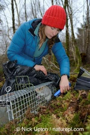 PhD student Catherine McNicol catching a grey squirrel for her PhD research