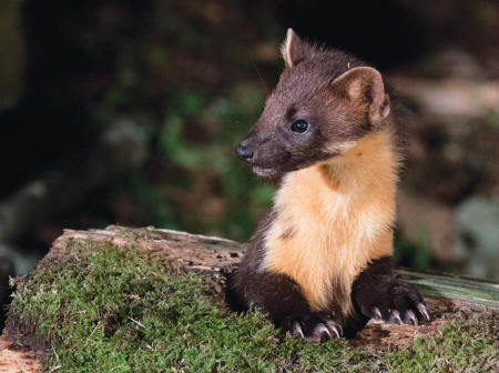 Pine marten (Photo: Robert Cruickshanks)