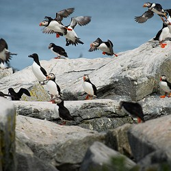puffins taking off and landing on grey rocks (image: Ray hennessy on unsplash)