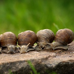 row of snails on a stone (image: cablemarder / pixabay)