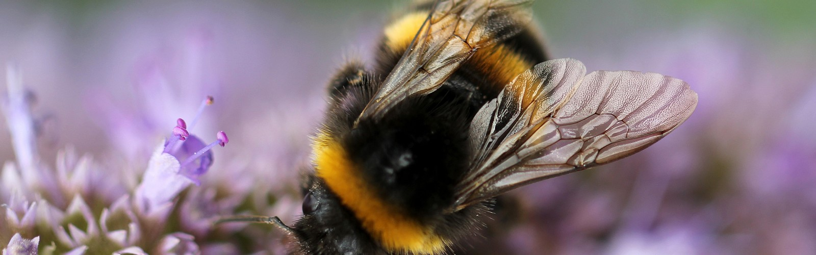 bumblebee on scabious (image: Sandy Millar on Unsplash)