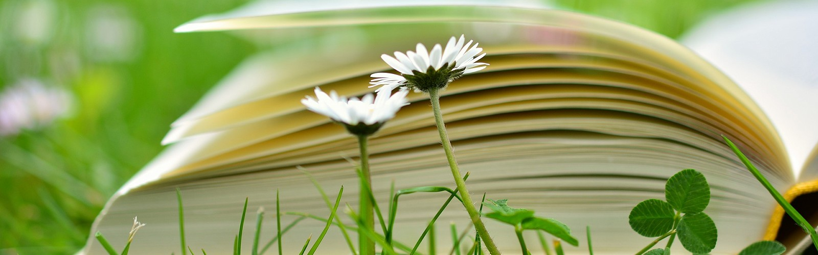 daisy flowers against top of open book