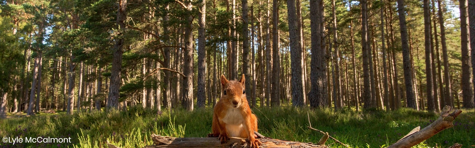 red squirrel on log (image: Lyle McCalmont)