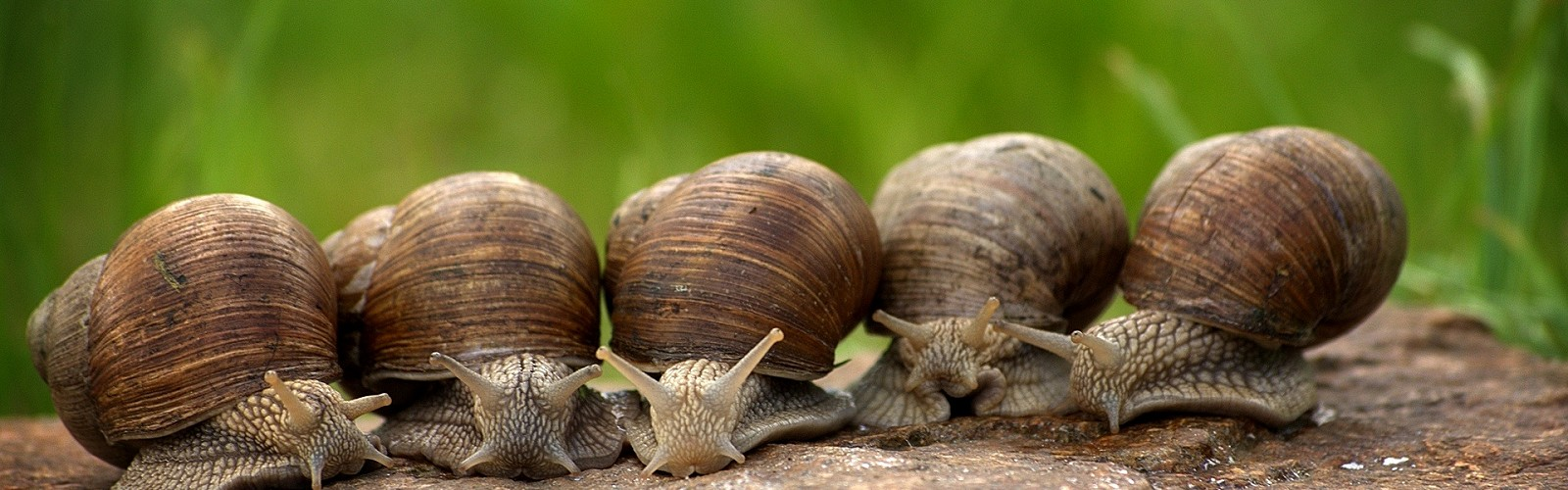 line of snails on a stone (image: Cablemarder / pixabay)
