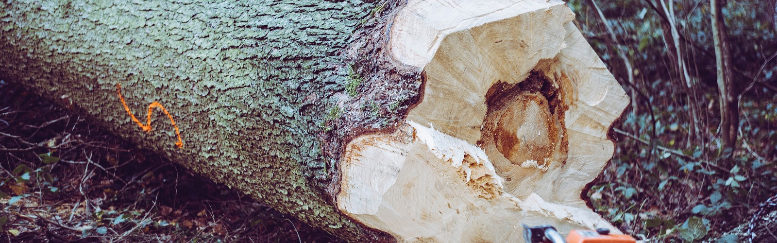Freshly felled tree, cut end showing with chainsaw in front (image: Markus Spiske on unsplash)