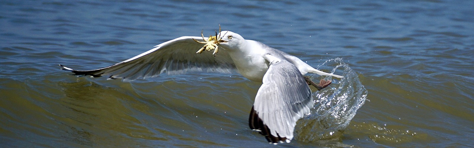 seagull skimming the water with a crab in its beak (image: Susanne Jutzeler / Pixabay)