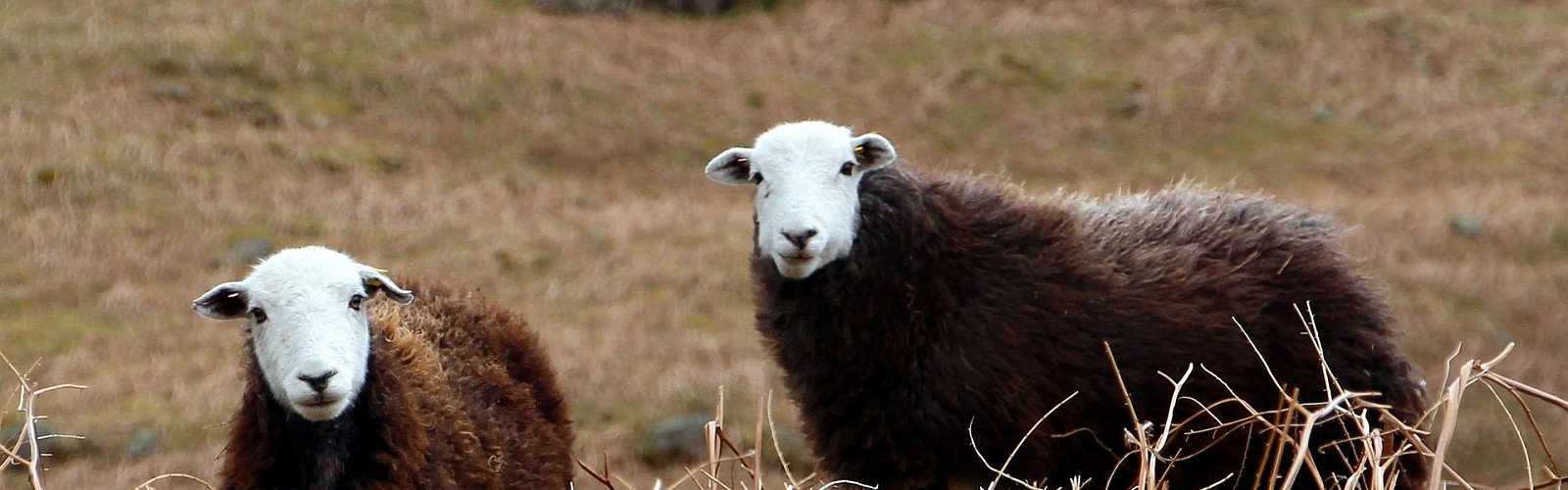 two herdwick sheep (image: John Perrett / Pixabay)