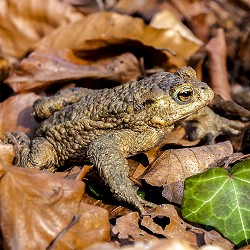 common toad (image: Kathy Buscher / pixabay)