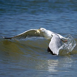 seagull skimming the waves with crab in its beak (image: Susanne Jutzeler / Pixabay)