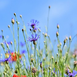 cornflower in a meadow (image: Capri / Pixabay)