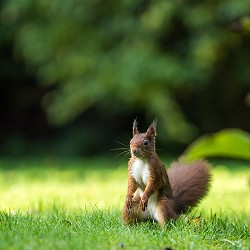 red squirrel (image: Vincent van zalinge on unsplash)