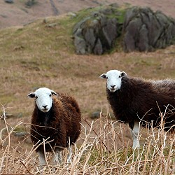 two herdwick sheep in the Lake District (image: John Perrett / Pixabay)