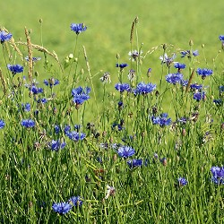 blue cornflowers in grass (image: Alija / Pixabay)
