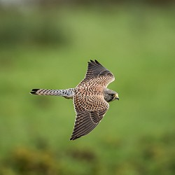 kestrel in flight (image: Vincent van Zalinge on unsplash)